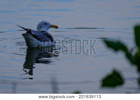 Nature photography - an isolated seagull on the Tiber (Rome, Italy, Europe).