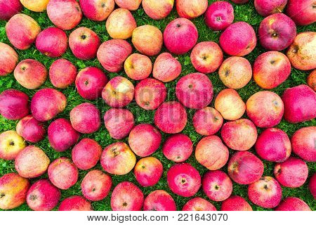 Group of red yellow apples on green grass