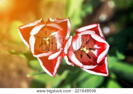 Blooming red and white tulips in the spring on a blurred natural background with golden glow from the sun.
