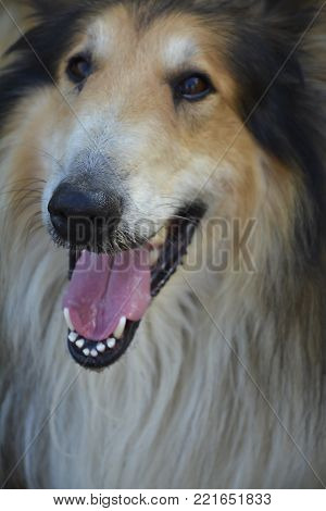 Adorable smiling Rough Collie with an adorable look