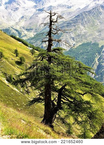 Single tree on a steep mountain slope in the Saas Valley, Switzerland
