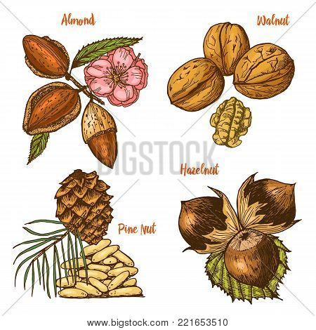 Herbs, condiments and spices. almond and walnut, pine nut and hazelnut, seeds for the menu. Organic plants or vegetarian vegetables. engraved hand drawn in old sketch, vintage style