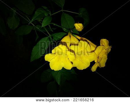Yellow elder on black background,Yellow Campsis radicans, Trumpet Vine, Yellow Bell Flower, Yellow Elder Flower on black background.