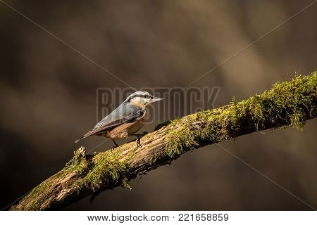 close up Wood Nuthatch, bird in the branch, small bird, wildlife scene from nature. Bird in the nature habitat, europe, czech republic, south moravia