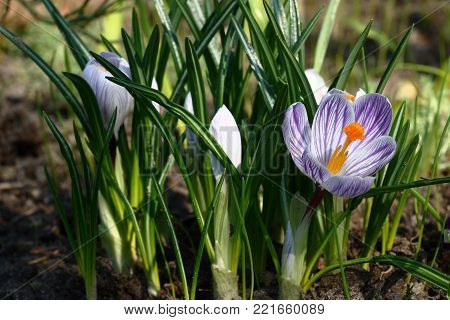 In a flower bed the first bud of a crocus with a violet pattern on white petals has revealed.