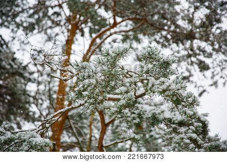 Branches of spruce tree with white snow. Winter spruce trees in the frost.Layer of snow on branches of spruce with hoar-frost.Fir-tree branches of conifer tree in snow for New Year close-up.
