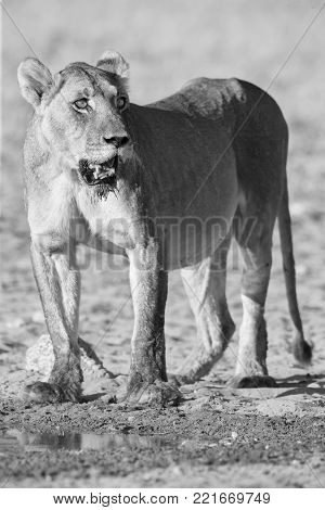 Large lioness standing up after drinking water from a small pool in the Kalahari in artistic conversion