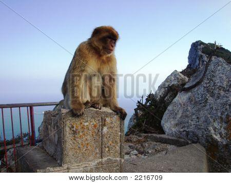 Gibraltar Rock Ape