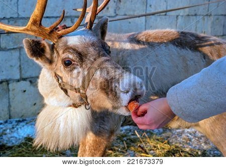 A woman gives carrots to a reindeer. The deer takes the carrots with their lips. The reindeer is a small animal. On the head of the reindeer there are horns.