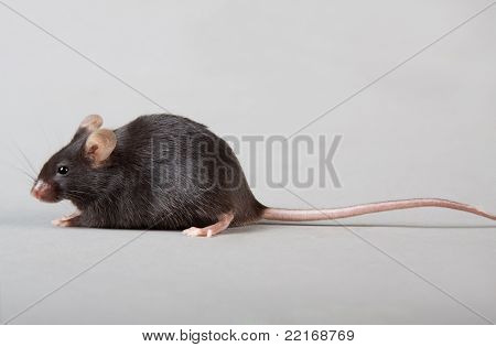 black laboratory mouse isolated on grey background poster