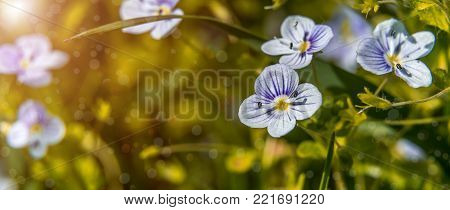 Blooming wildflowers in a meadow. close up. Lilac blooming Cardamine pratensis against the blurred nature background of a rural field. soft selective fokus. instagram toning efect