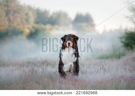 Australian Shepherd In Nature. The Dog In The Heather