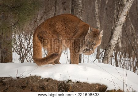 Adult Female Cougar (Puma concolor) on Rock Licks Paw - captive animal