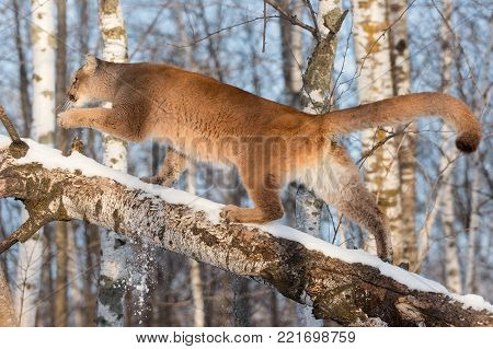 Adult Female Cougar (Puma concolor) Walks Up Birch - captive animal