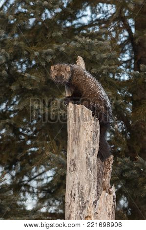 Fisher (Martes pennanti) With Snow on Its Back - captive animal