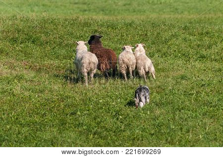 Stock Dog Moves Group of Sheep (Ovis aries) - at sheep dog herding trials