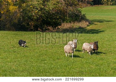 Stock Dog Moves Group of Sheep (Ovis aries) Away From Woods - at sheep dog herding trials