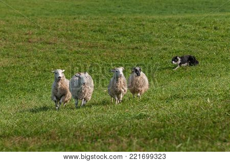 Stock Dog Runs Left Behind Group of Sheep (Ovis aries) - at sheep dog herding trials