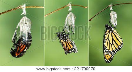Monarch Butterfly (Danaus plexippus) drying its wings after metamorphosis