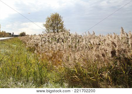 Common  reed (phragmites australis) is a perennial wetland grass that grows 3-20' tall with hollow stems.
