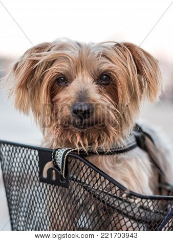 Small dog sitting being carried in bicycle basket. doggy strolling in the bike basket. Circulating safely with safety belt