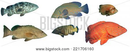Grouper fish isolated on white background. Groupers, Coral Trout, Rock Cod.