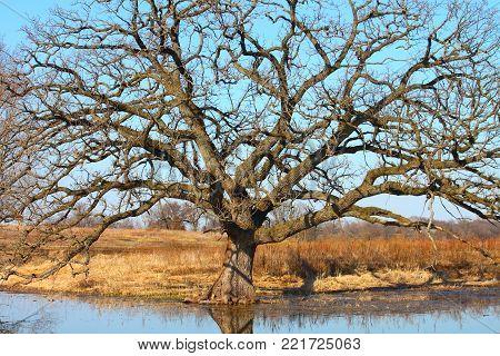 Very Old Bur Oak (Quercus macrocarpa) grows along a wetland of northern Illinois