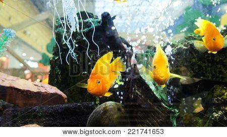 Yellow fish float in an aquarium in a shopping center