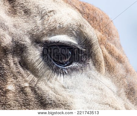 eye giraffe . In the park in nature
