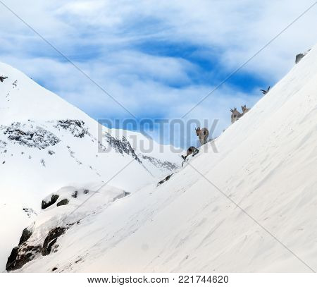 Mountain goats on background beautiful landscape of snowy high mountains Elbrus on Caucasus