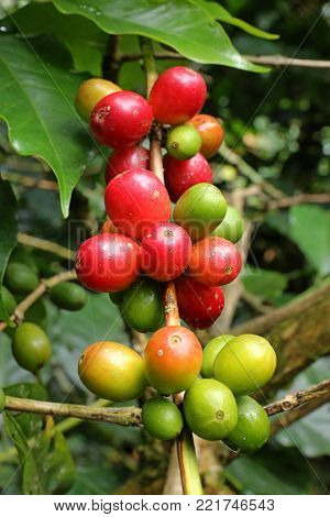 Close up Fresh organic red coffee cherries, raw berries coffee beans on coffee tree plantation in Colombia