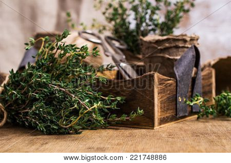 Branches of raw rosemary on a wooden background box and peat pots. Selective focus.