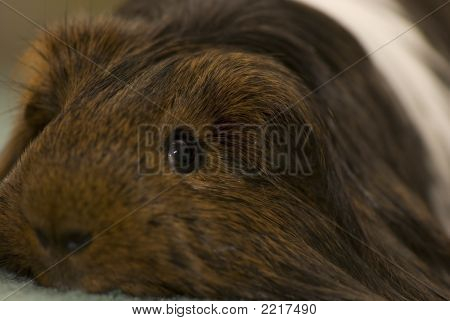 picture of a guinnea pig. focus is centered on the eyes poster