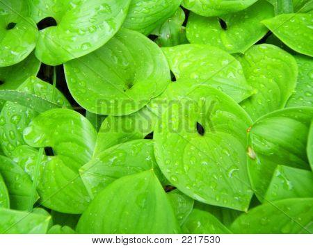 False Lilies Closeup