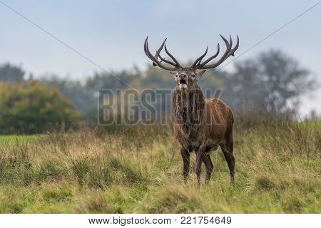 A red deer stag full portrait standing in grassland and snorting facing forward with mouth open