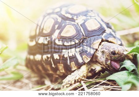 Leopard tortoise - Geochelone pardalis eating green leaves. Endangered animal species.