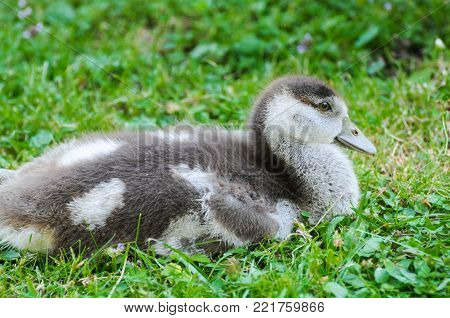 A small duckling walking curiously in a fresh green grass. Duckling in grass.