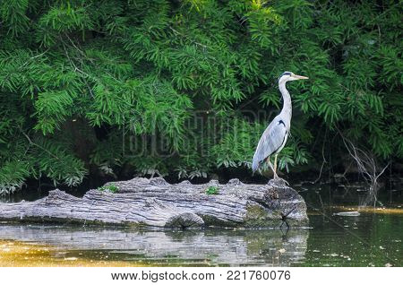 A grey heron Ardea cinerea in the wild.The grey heron ist a tall and long-legged predatory bird. Herons Ardeidae are native in most areas of our planet.