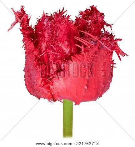 one dissolute flower Bud Terry Tulip red close-up isolated on white