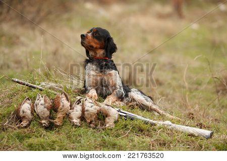 hunting dog epagnol Breton on the hunt for bird