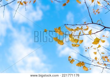 Yellow gingo leaf With the blue sky on a bright blue day in autumn
