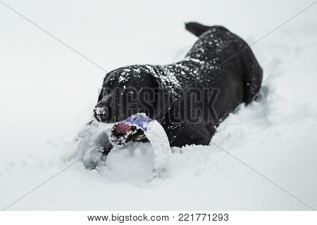 Portrait of cute funny black labrador dog playing happily outdoors in white fresh snow on frosty winter day.
