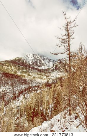 Spruce forest after natural disaster in High Tatras mountains, Slovakia. Winter natural scene. Yellow photo filter.