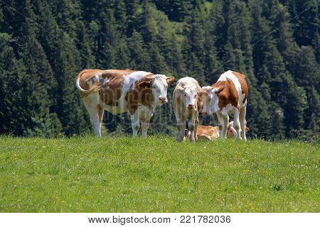 Alpine meadow / Cows graze in the alpine meadow