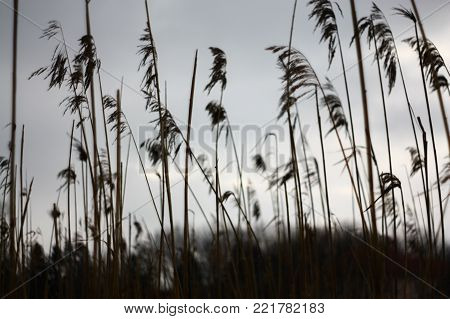 Tall dry grass sways in the wind gray sky in the background