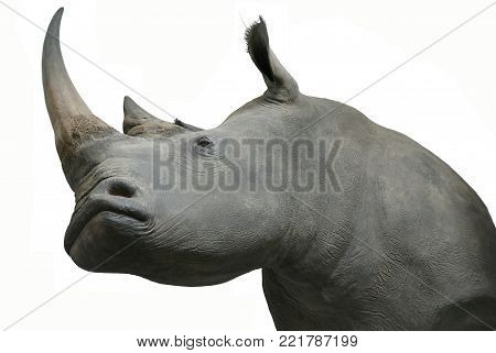 rhinos head taxidermy object isolated animals theme