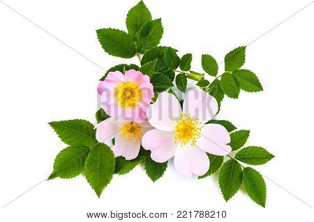 Pink wild rose or dog rose flowers with green leaves. Over white background