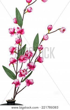Plum blossom isolated on white background, Blooming pink plum blossom