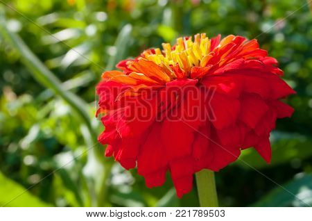 Red dahlia summer flower, summer floral closeup view. Summer flower of red dahlia in the summer garden in sunny weather. Summer flower background with red dahlia flower under sunlight