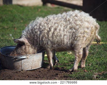 Curly pig of Hungarian breed Mangalitsa eats the forage